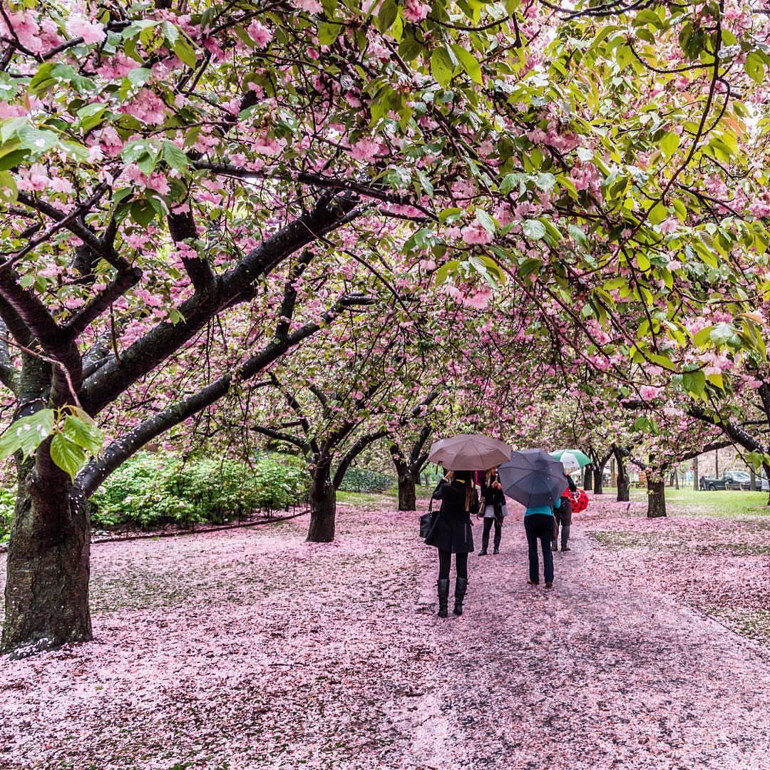 Brooklyn Botanical Garden Cherry Blossom Tickets Garden Ftempo