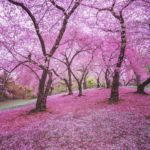 Spring blossoms at Central Park by Vivienne Gucwa